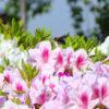 ツツジにハチがブンブンだポン【2018年4月21日(土曜日)の狭山池】