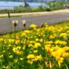 黄色の花、緑の葉っぱイキイキだポン【2018年6月25日(月曜日)の狭山池】