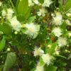 ギンバイカの花、見っけだポン【2018年6月14日(木曜日)の狭山池】
