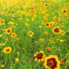 ミヤコグサとハルシャギクの花みっけだポン【2018年7月3日(火曜日)の狭山池】