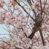桜の木にヒヨドリ見っけだポン