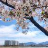 辻本病院の近くの桜、キレイだポン