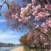 桜がピンクから緑色に変身していくポン