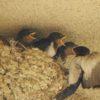 ツバメの赤ちゃん、スクスク育ってもうすぐ巣立ちだポン