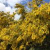 小さくて黄色い花がポポポーンだポン【2017年3月16日(木曜日)の狭山池】